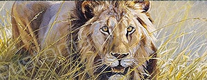 Lion in Grass Rear Window Graphic