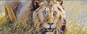 Lion in Grass Rear Window Graphic