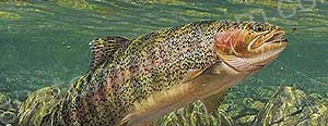 Daylight Rainbow Trout Rear Window Graphic