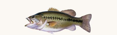 Large Mouth Bass Profile Rear Window Graphic