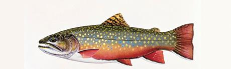 Brook Trout Rear Window Graphic