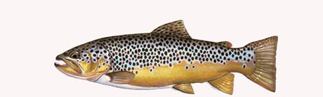 Brown Trout Rear Window Graphic