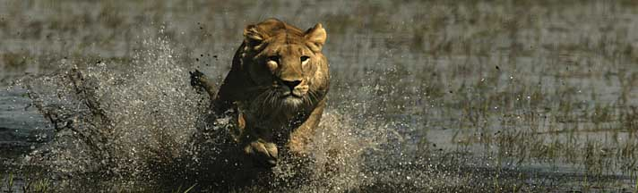 African Lion Charging Rear Window Graphic National Geographic