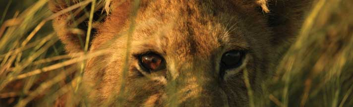African Lion Cub Rear Window Graphic National Geographic