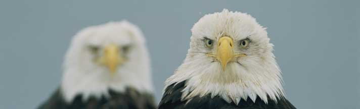 American Bald Eagles Portrait Rear Window Graphic National Geographic