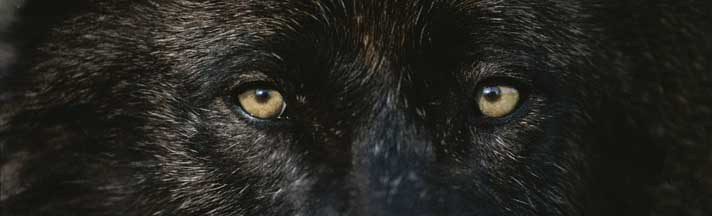 Black Wolf Eyes Rear Window Graphic National Geographic