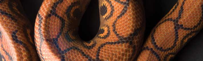 Brazilian Rainbow Boa Rear Window Graphic National Geographic