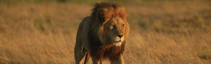 Male Lion in Duba Plains Rear Window Graphic
