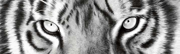 Nose to Nose BW Tiger Eyes Rear Window Graphic
