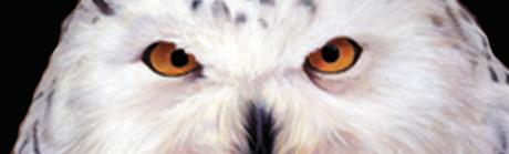 White Owl Closeup Rear Window Graphic