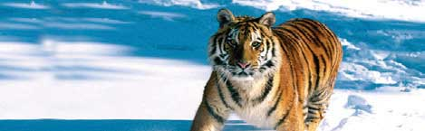 TIGER IN SNOW Rear Window Graphic