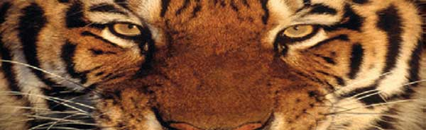 CLOSEUP TIGER FACE Rear Window Graphic
