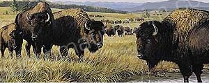 Bison in Stream Rear Window Graphic